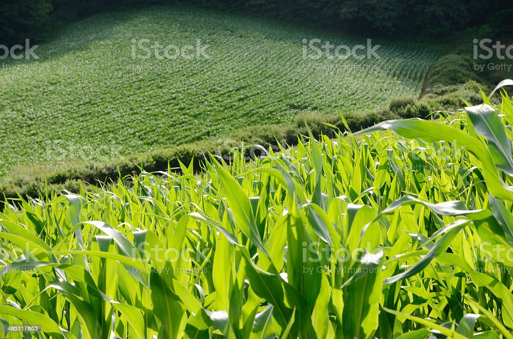 Close-up of the corn field stock photo
