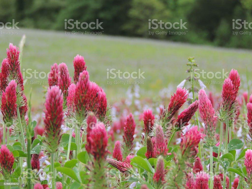 Closeup of the densly petalled heads of Crimson Clover stock photo