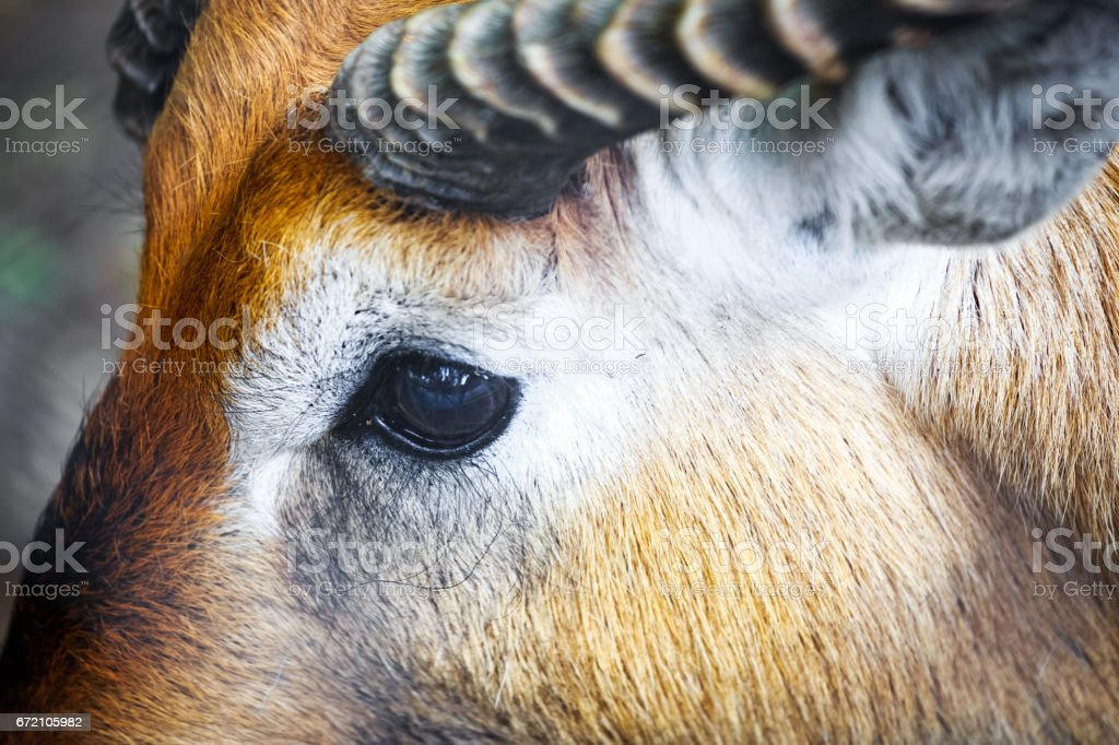 Close-up of the eye of a antelope stock photo