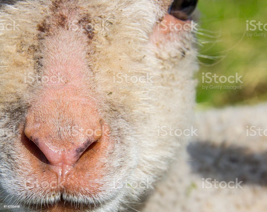 closeup of the face of a solitary lamb stock photo