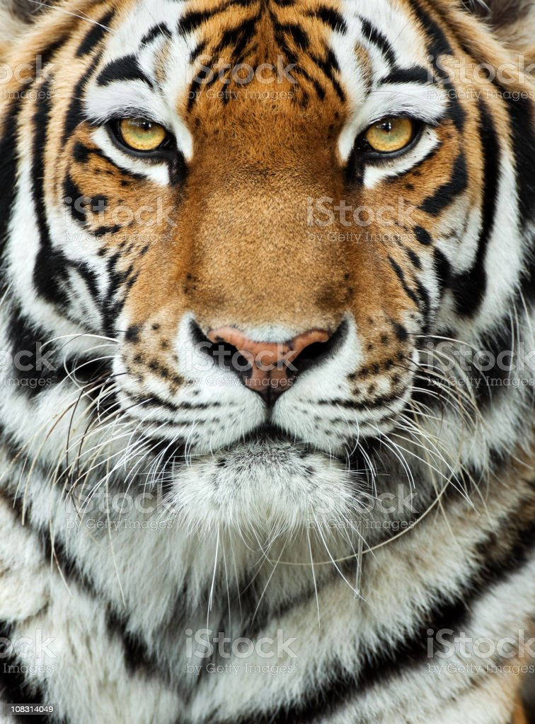 Close-up of the face of a tiger stock photo
