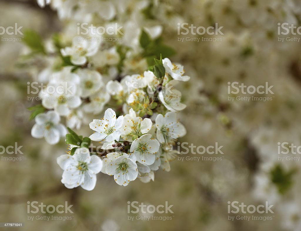 Close-up of the flowering twig royalty-free stock photo