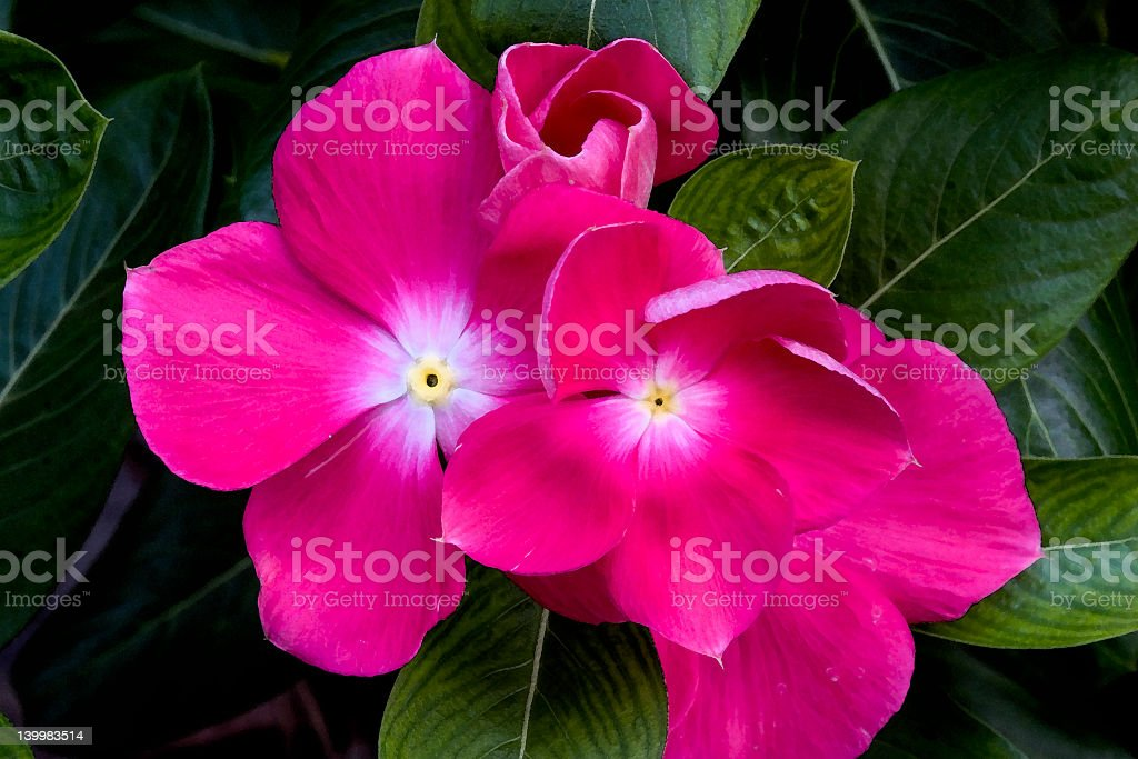 A close-up of the flowers of New Guinea Impatiens stock photo