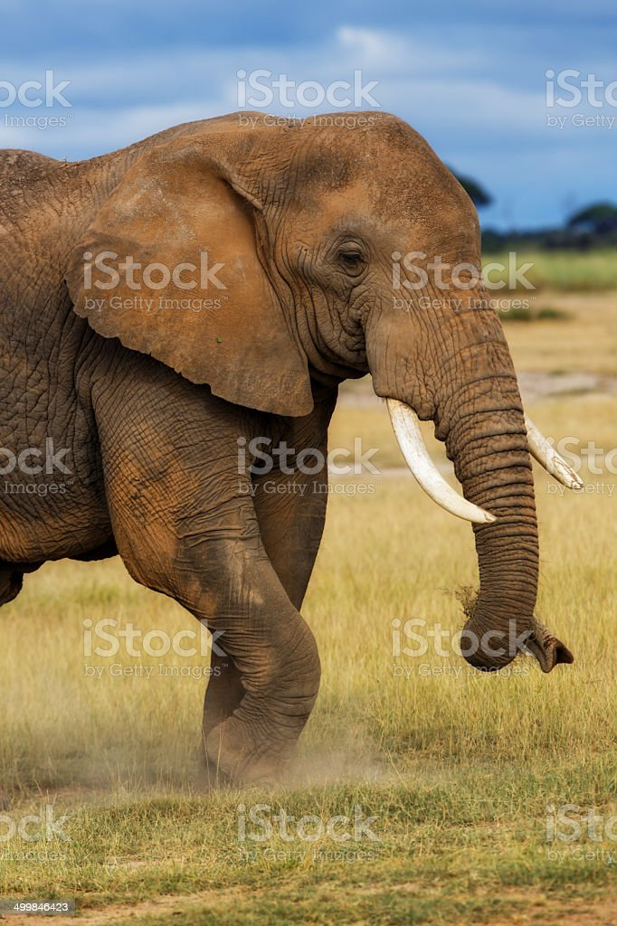 Closeup of the front-side of an African Elephant eating grass stock photo