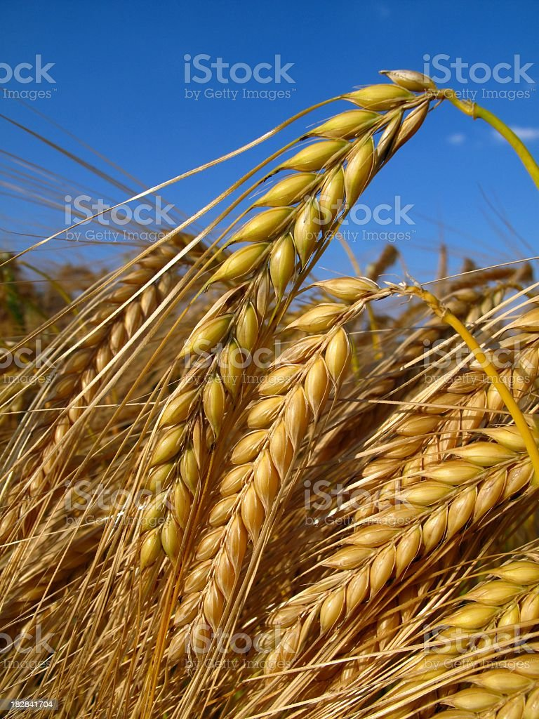 Close-up of the golden grain of ripe barley crop stock photo
