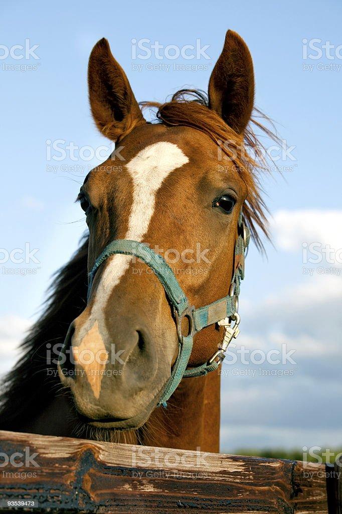 Closeup of the head  a horse stock photo
