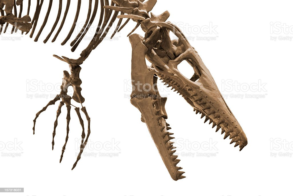 A close-up of the head of a dinosaur skeleton stock photo