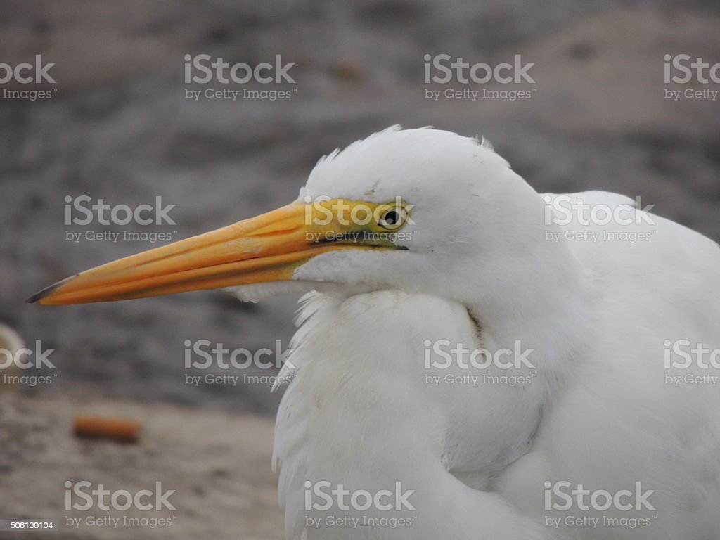 Closeup of the head of a Great Egret stock photo