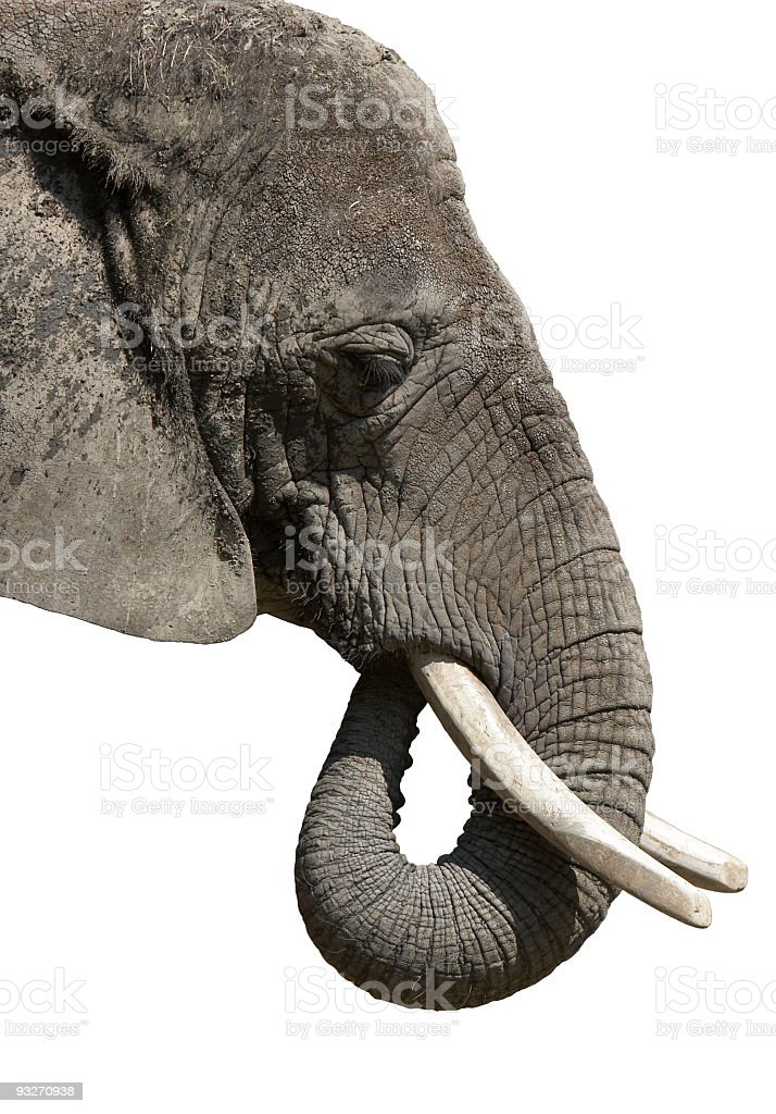 A close-up of the head of an elephant stock photo