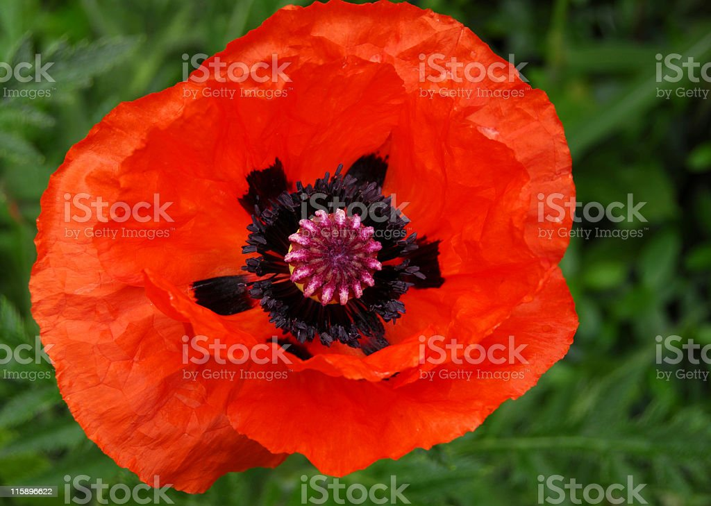 Close-up of the interior of a red oriental poppy stock photo