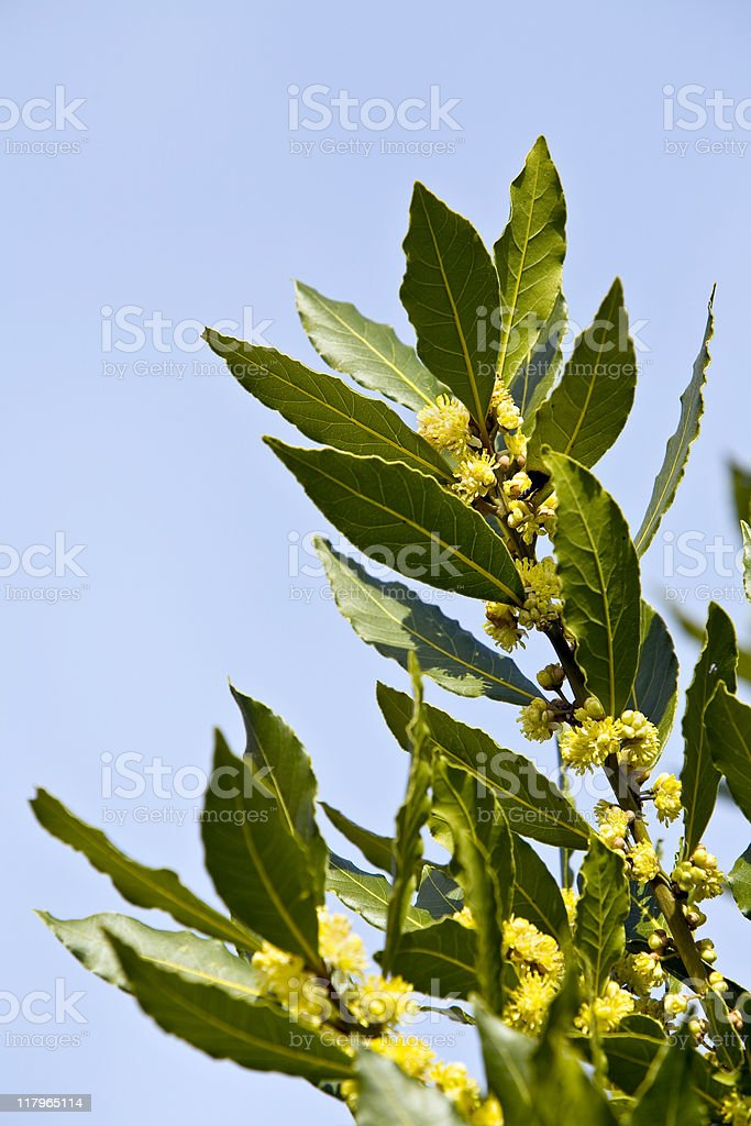 Close-up of the leaves and flowers of a Bay Tree stock photo