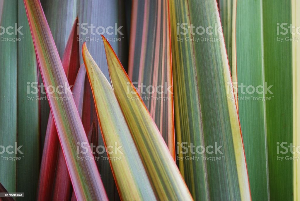 A close-up of the leaves of a harakeke stock photo