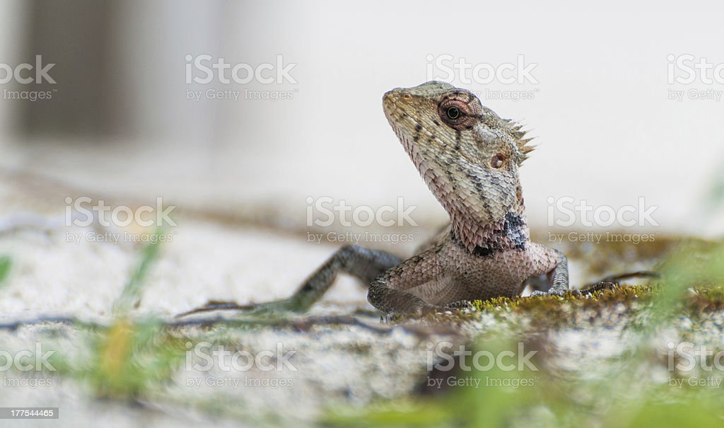 Closeup of the lizzard looking what's going on royalty-free stock photo