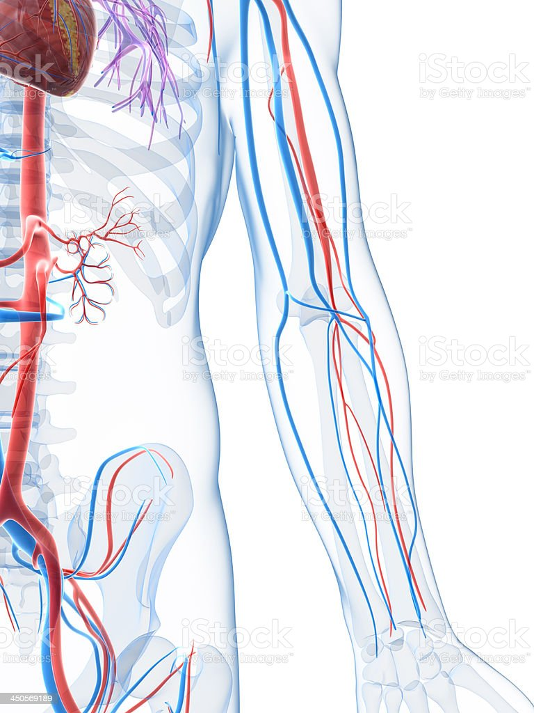 Close-up of the side of the body showing the vascular system stock photo