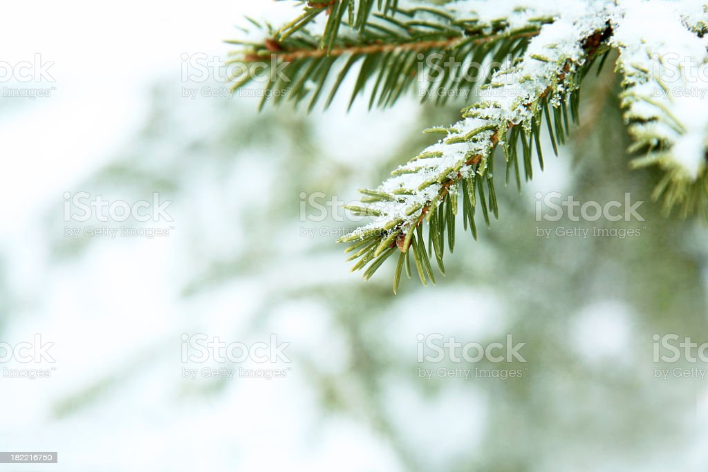 Close-up of the spiky leaves of a fir branch under snow royalty-free stock photo