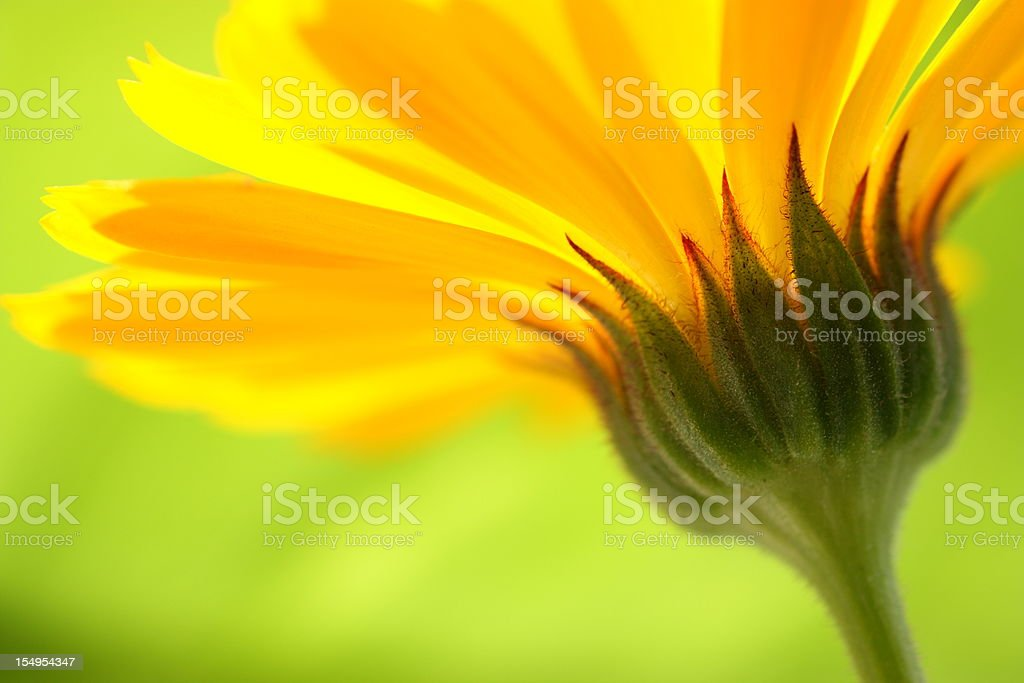 Closeup of the stem of a yellow daisy with green background  stock photo