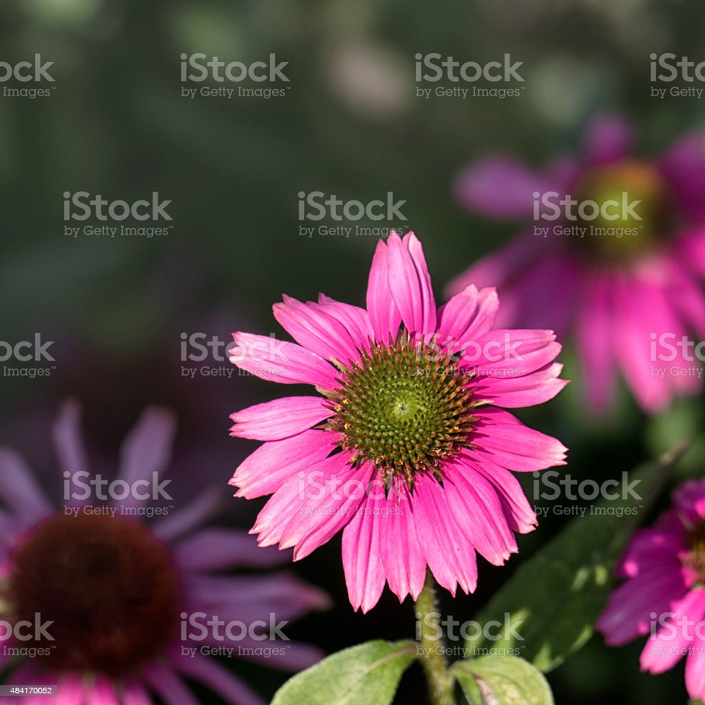 Close-up of the stigma of a pink rudbeckia flower stock photo