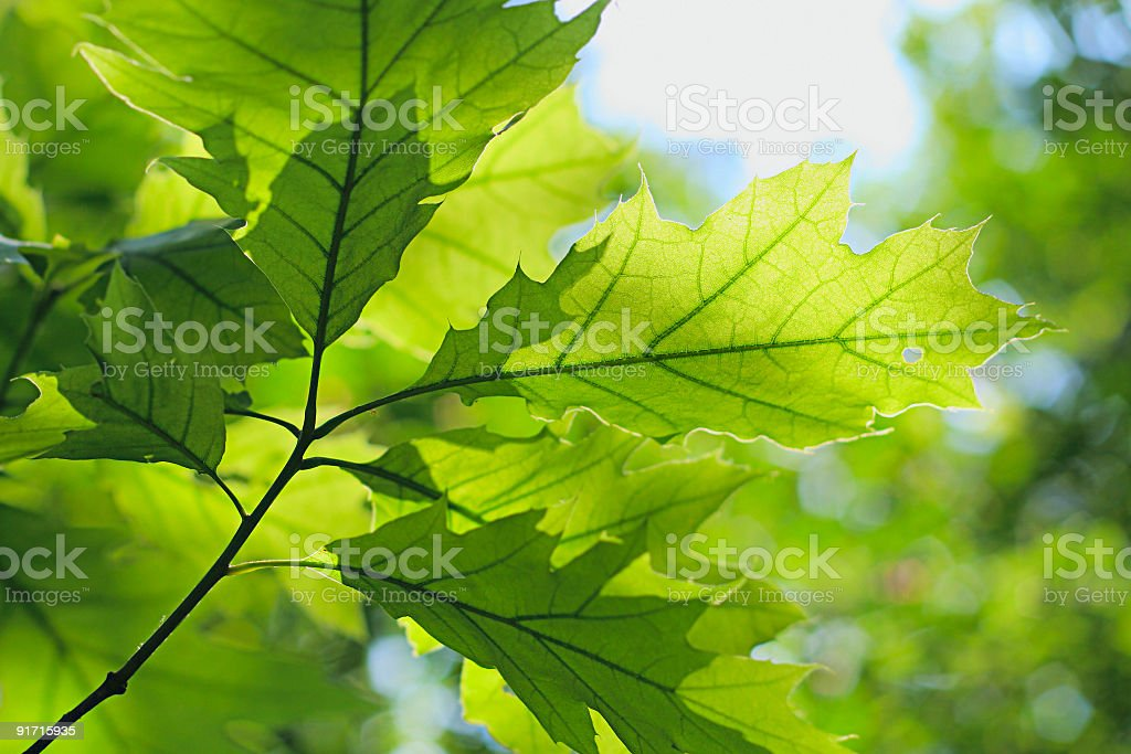 Close-up of the sun shining on the veins of oak tree leaves stock photo