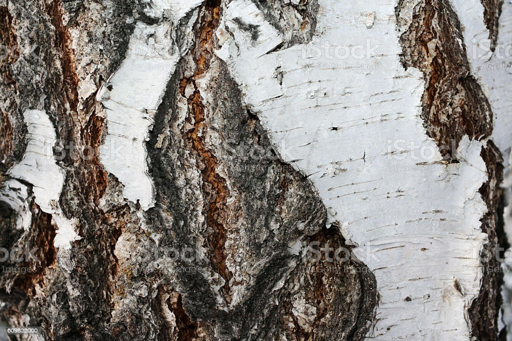Close-up of the textured bark birch stock photo