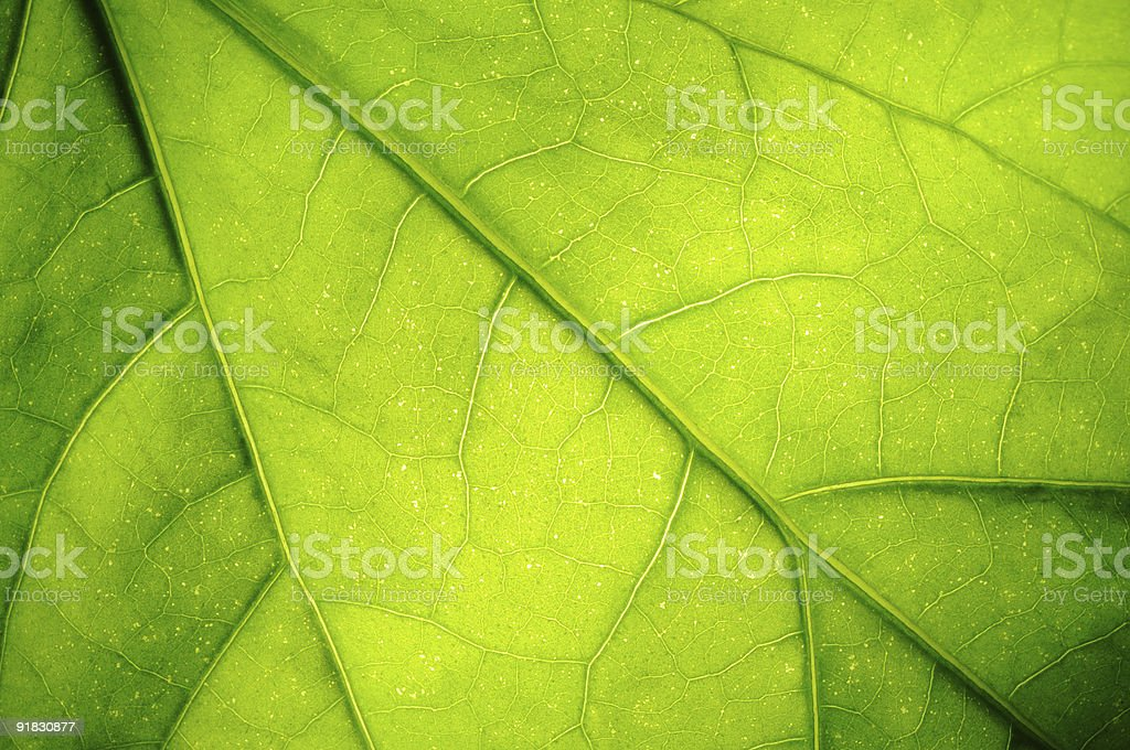 Close-up of the veins of a green leaf royalty-free stock photo