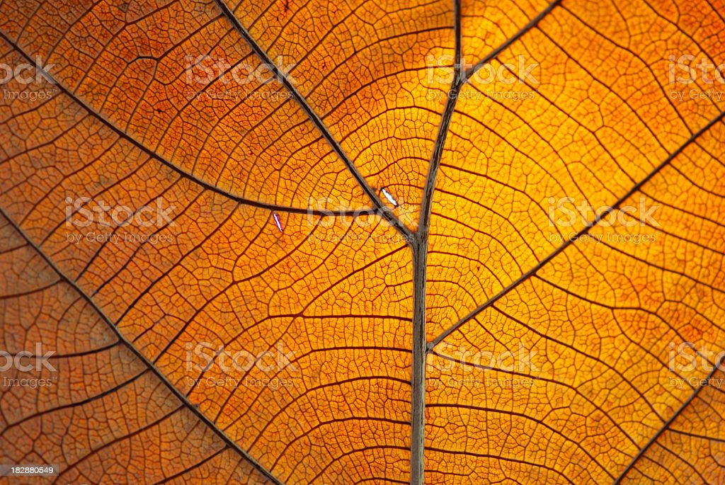 Close-up of the veins on a dry orange leaf royalty-free stock photo