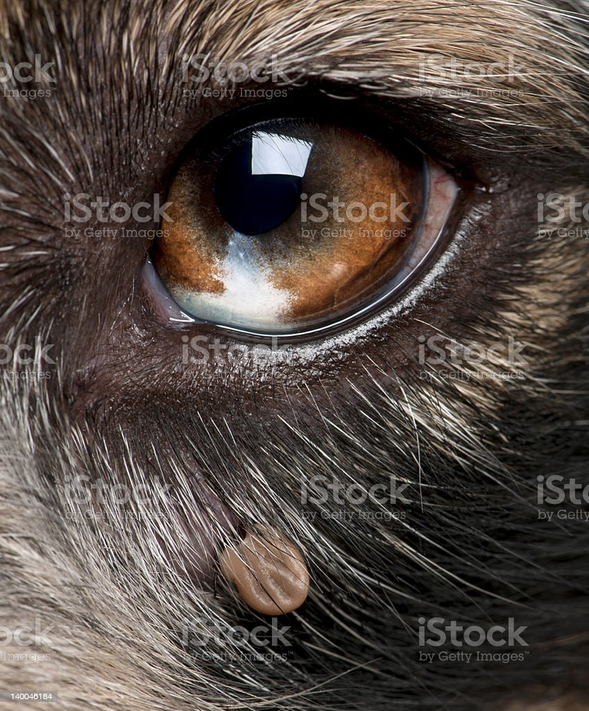 Close-up of Tick attached next to an Australian Shepherd\\\\\\'s eye royalty-free stock photo