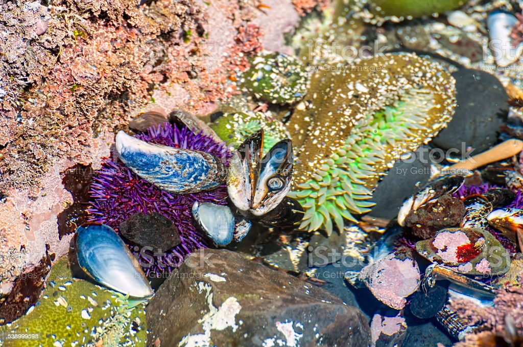 Closeup of tidepool on Oregon Coast stock photo