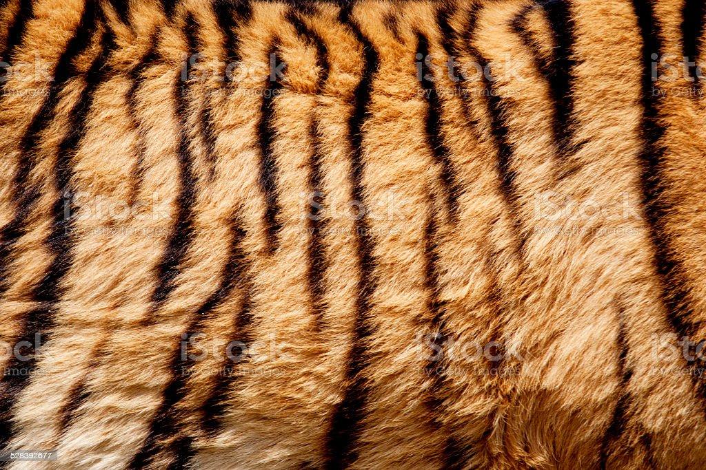 Closeup of Tiger Fur stock photo
