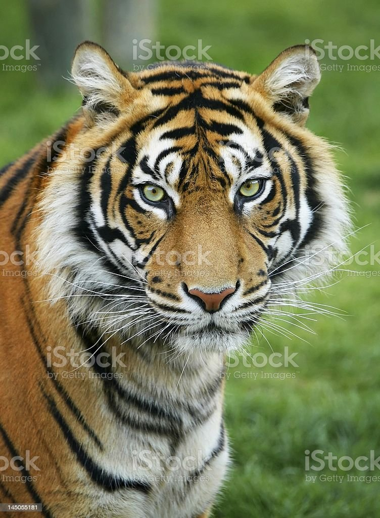 Close-up of tiger with green eyes royalty-free stock photo