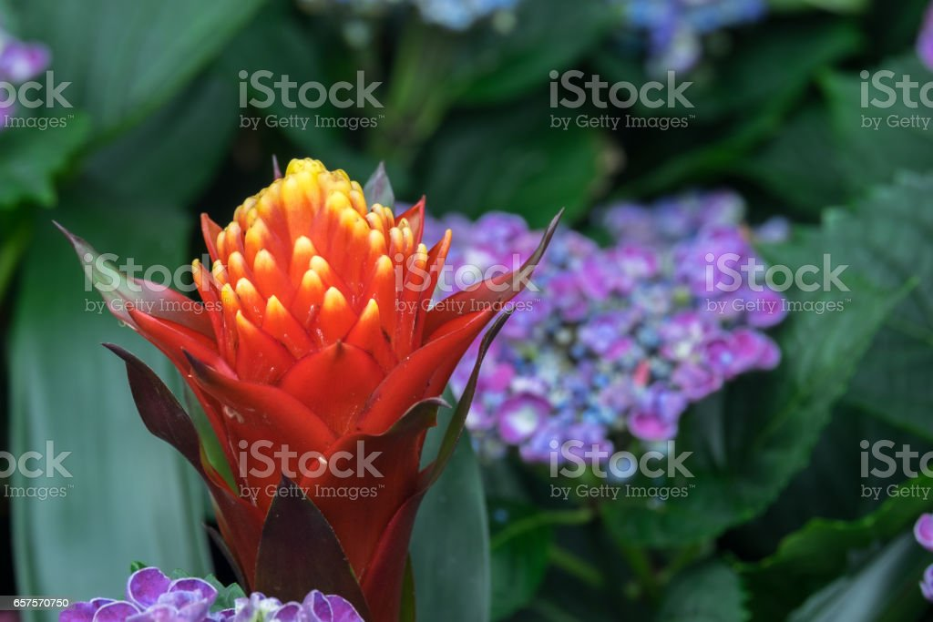 Close-Up Of Tropical Flowers-Guzmania Ans Hydrangea stock photo