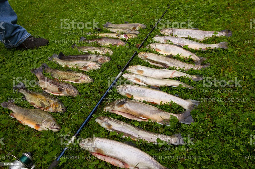Closeup of trout fish and fishing rod stock photo