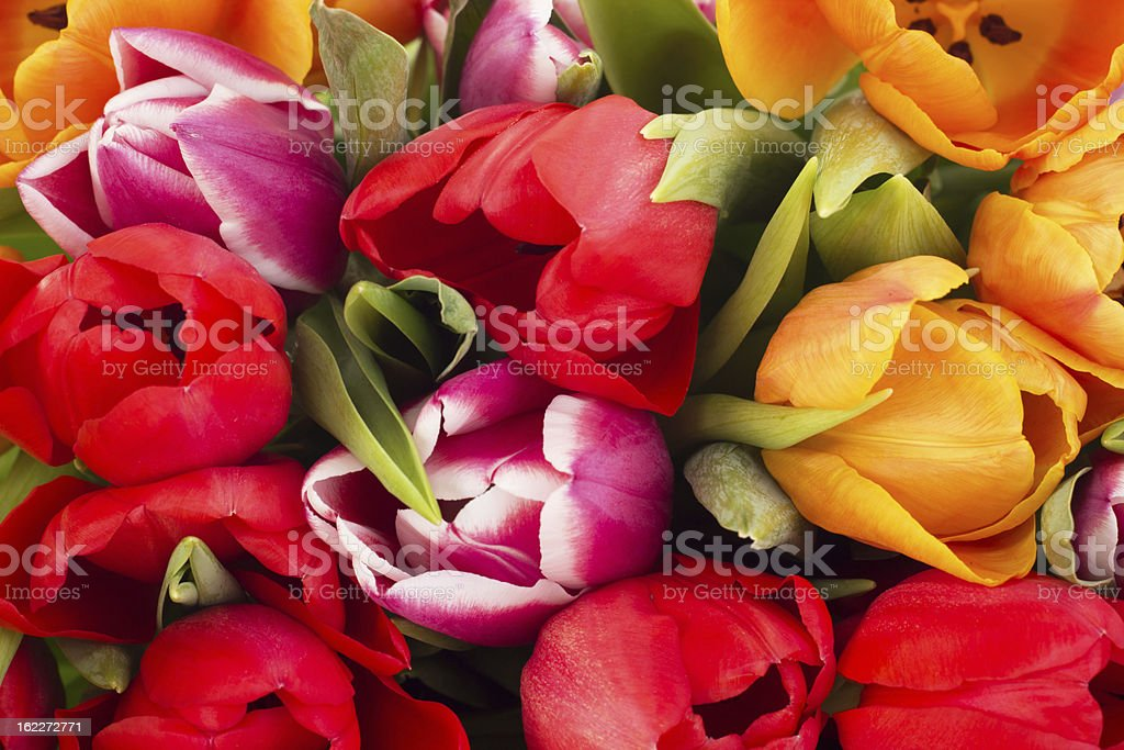Closeup of tulips royalty-free stock photo