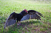 Close-up of Turkey Vulture spreads his wings on the grass