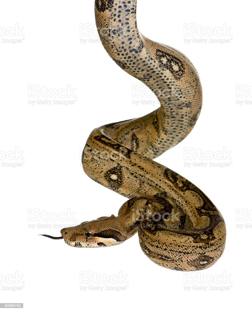 Close-up of twisted boa constrictor snake isolated in white stock photo
