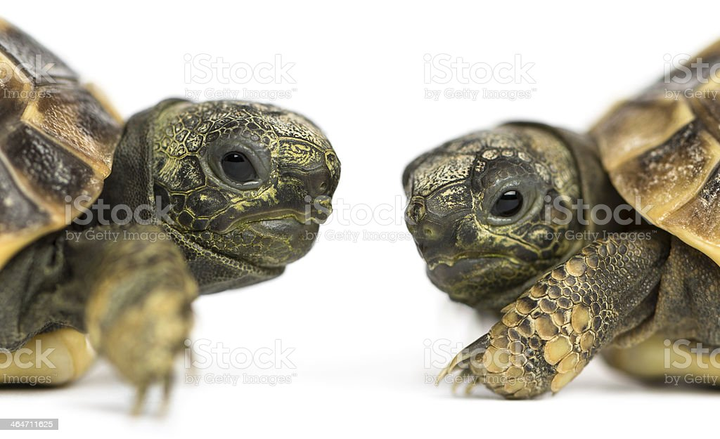 Close-up of two baby Hermann's tortoise facing each other stock photo