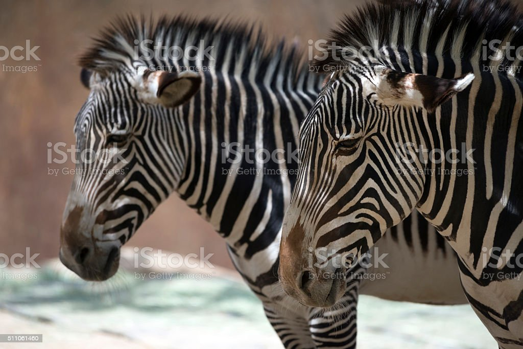 Closeup of two beautiful zebra. stock photo