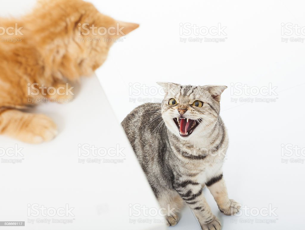 closeup of two cats in a conflict over  white background stock photo