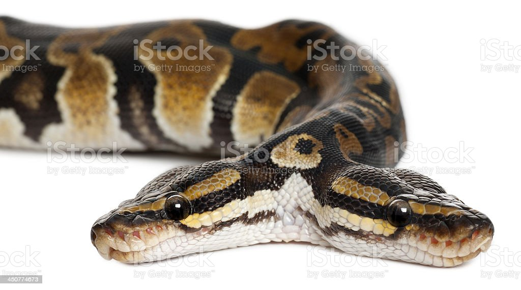 Close-up of Two headed Royal Python stock photo