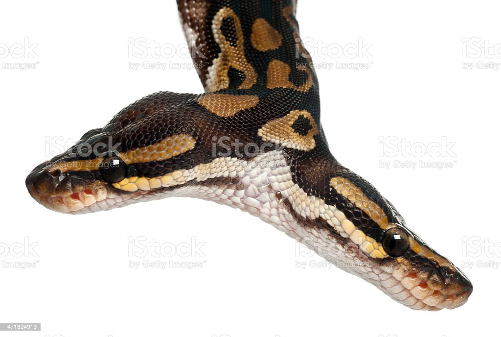 Close-up of Two headed Royal Python, white background. stock photo