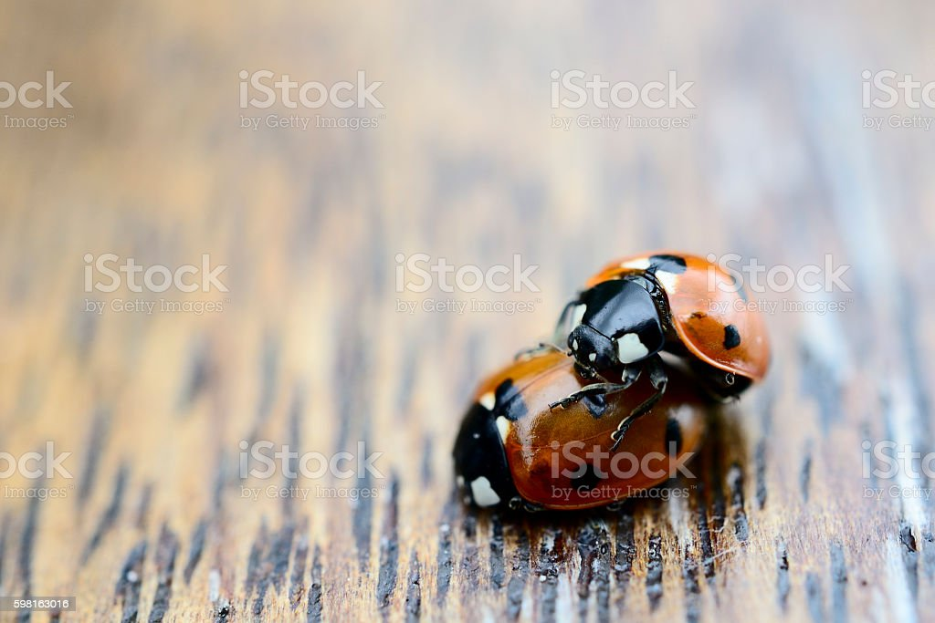 close-up of two ladybugs making love on a wood stock photo