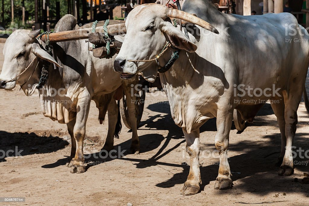Closeup of two oxen that are harnessed to an oxcart stock photo