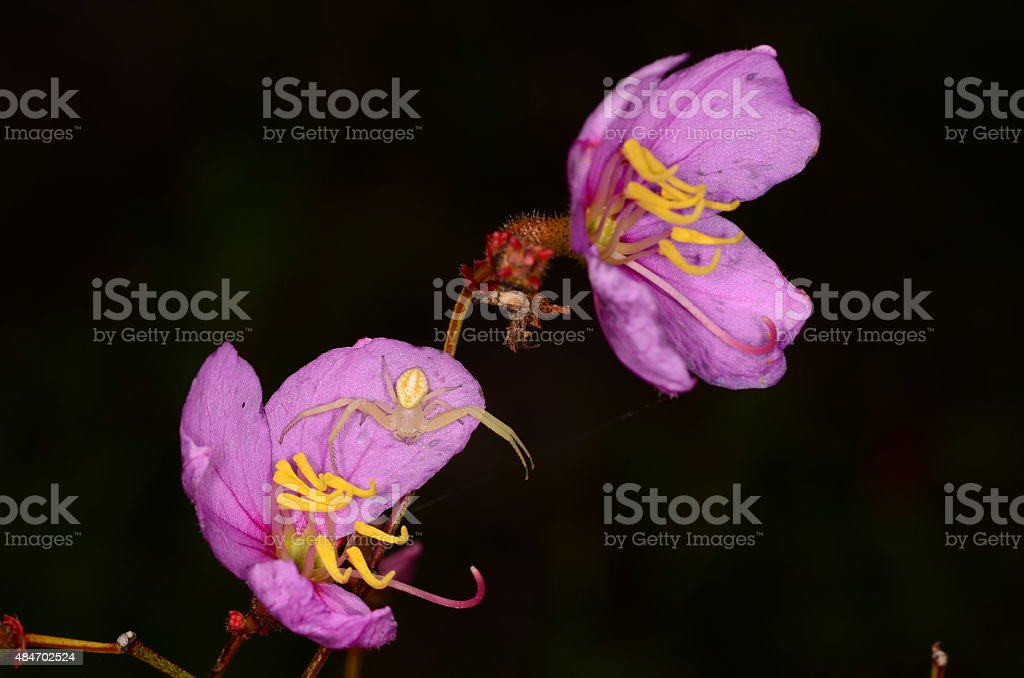Close-up of two pink flowers with white spider stock photo