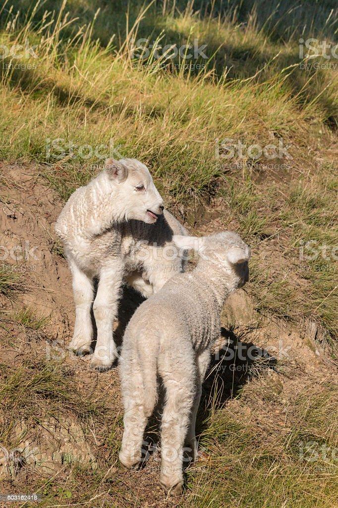 closeup of two playful lambs stock photo