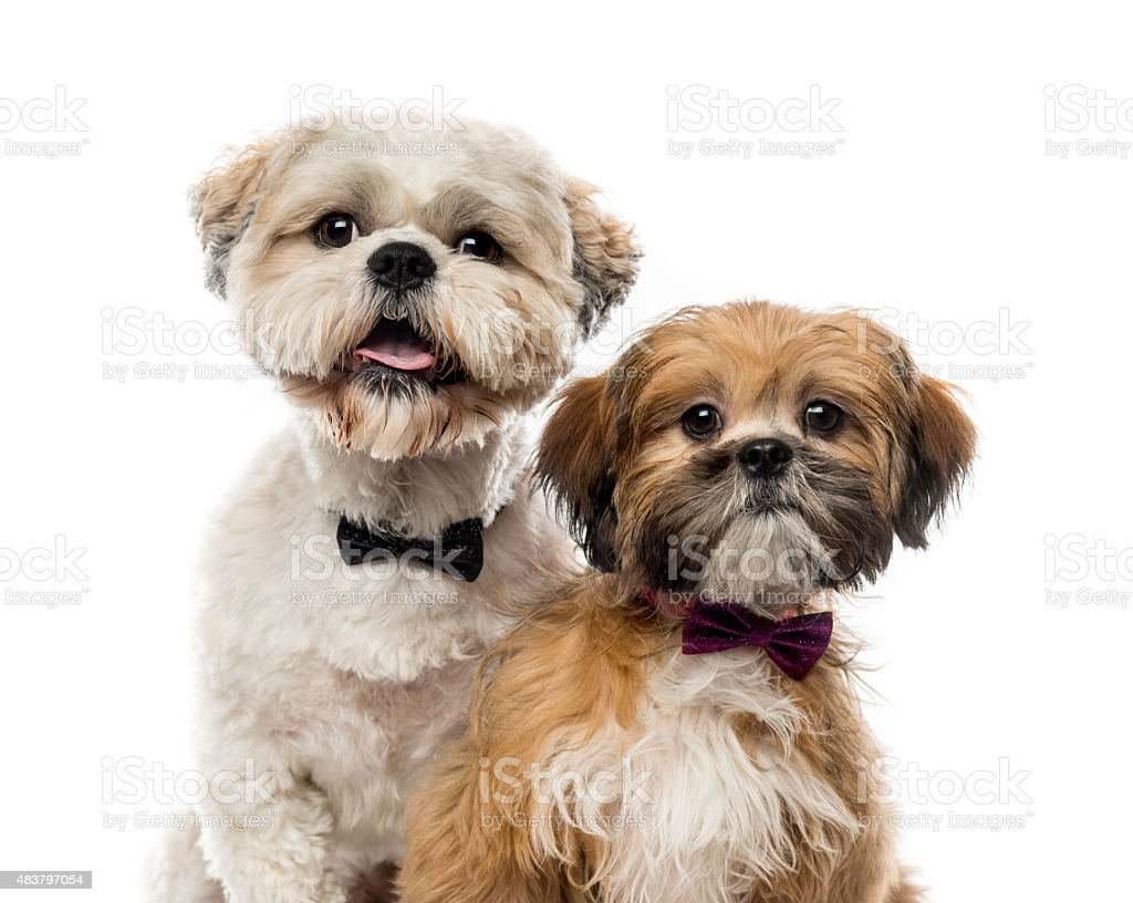 Close-up of two Shih Tzus stock photo