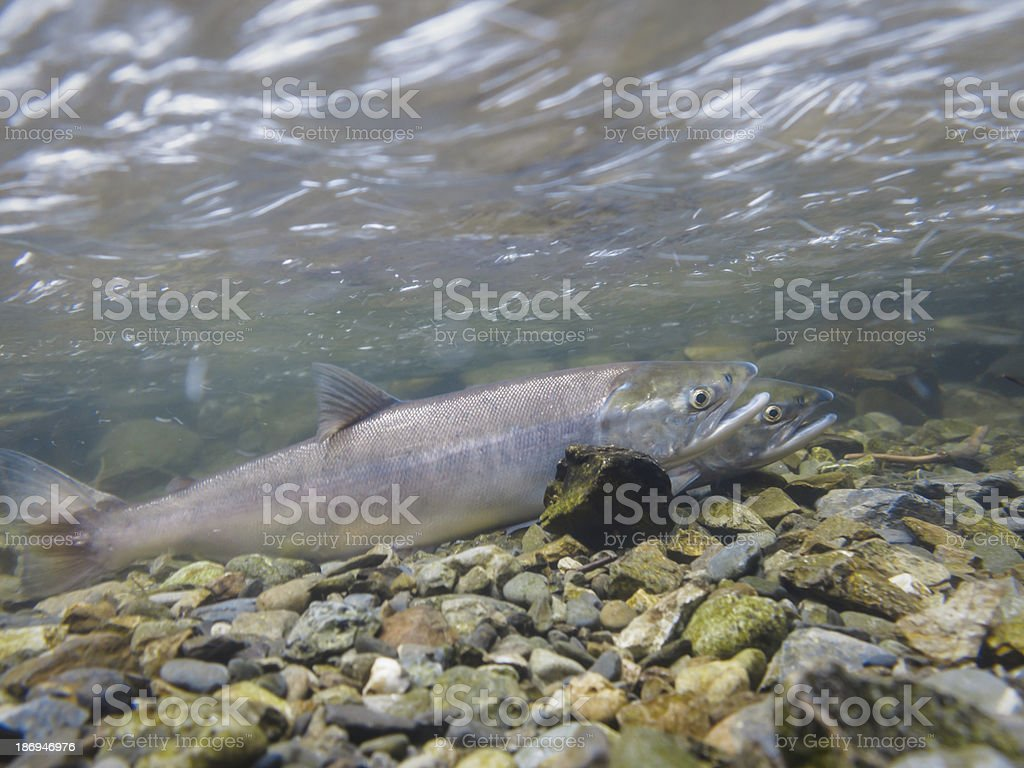 Close-up of two spawning salmon in an Alaskan river USA stock photo