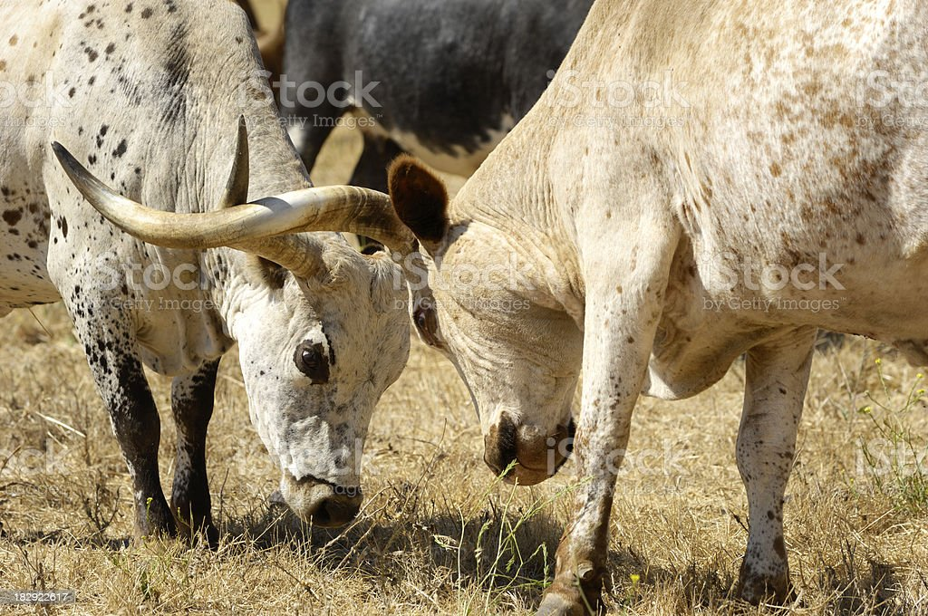 Close-up of Two Texas Longhorn with Locked Horns royalty-free stock photo