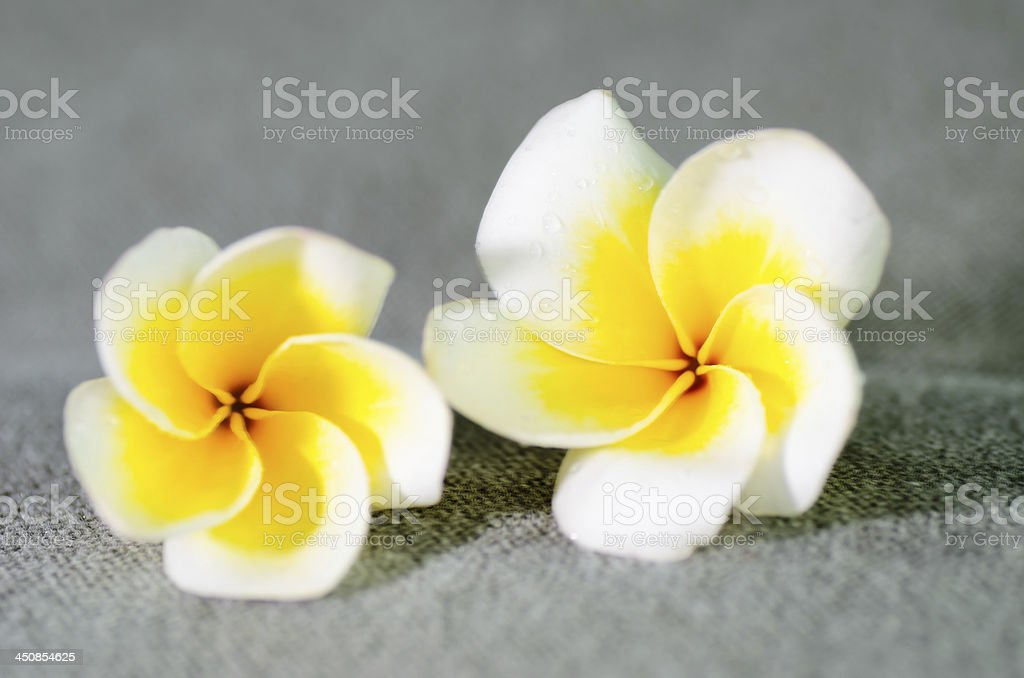 Closeup of two yellow plumerias . stock photo