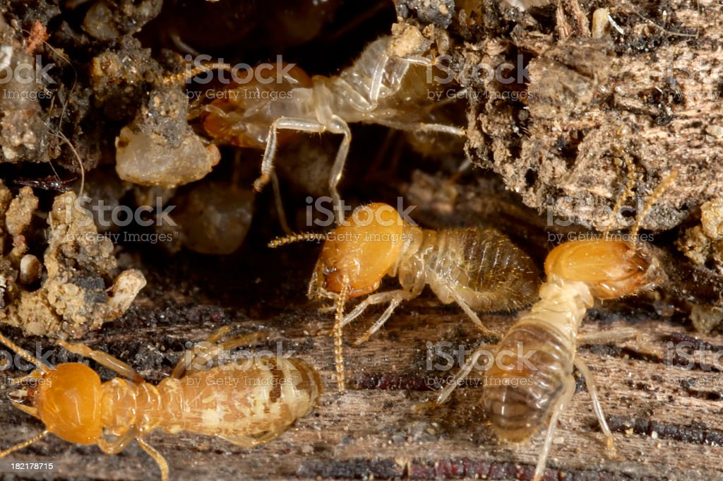 A close-up of ugly termites on the dirt stock photo