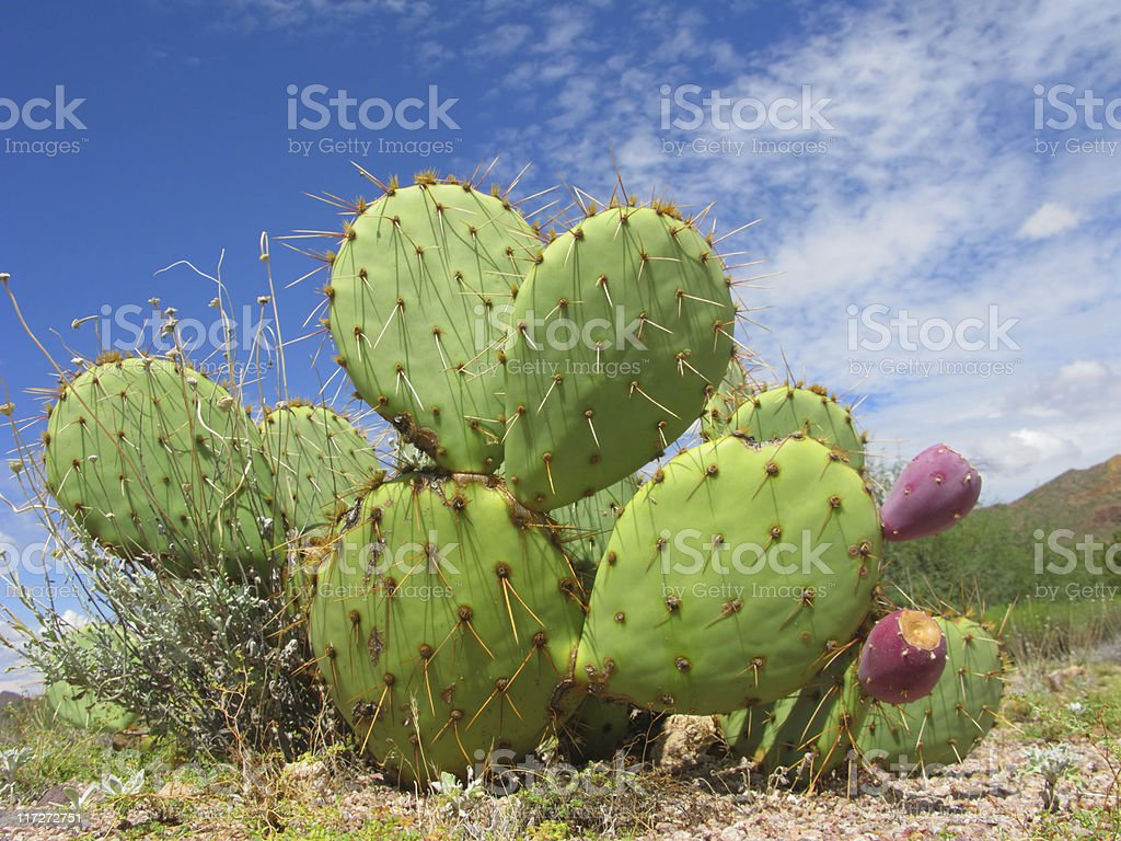 Close-up of unique Arizonian Prickle Pear Cactus royalty-free stock photo