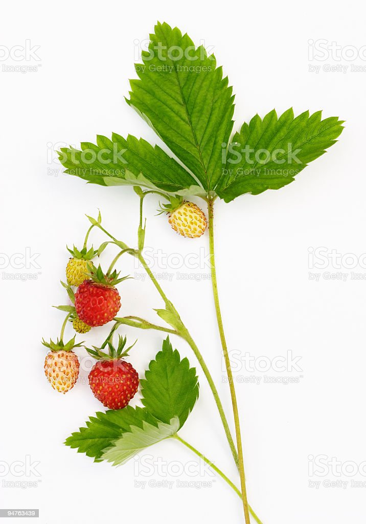 Close-up of unripe strawberries on twigs stock photo